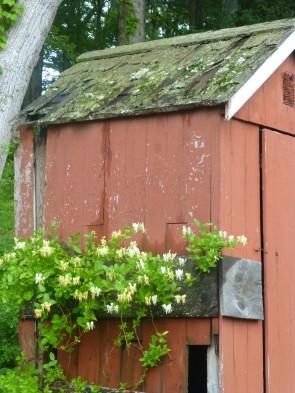 Nature's Aromatherapy: Honeysuckle